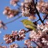 新宿御苑 寒桜とメジロ Nikon D7200 + シグマ100-400