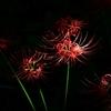 ☀小石川植物園 晴天下での彼岸花を撮影☺