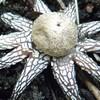 北方領土(千島列島)の国後島にヒメツチグリ科(Geastraceae)の星と似ているキノコを見つけました。
