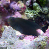 (海水魚)インドカエルウオ ブラック(1匹) 北海道・九州・沖縄航空便要保温