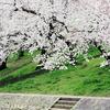 岡崎公園の桜と緑のコラボレーション