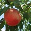 甲州市「あすなろ園」で桃狩り!冷えた桃が食べ放題!