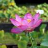ハスの花を撮影するのには望遠ズームが便利だった・2017花園ハス祭り観蓮会