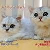 緊急!里親様募集part4【決まったチンチラペルシャ猫ちゃん】※決定致しました!