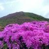 ミヤマキリシマ2021  平治岳