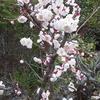 また梅の花