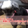 【里親募集・全盲のノッカーちゃん】滋賀県より~愛ある方に出会えますように