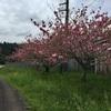 八重桜が一番の今の季節