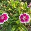 四季咲きなでしこ