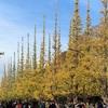 神宮外苑銀杏並木とランチ