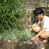 キャベツ収穫してみました。