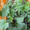 夏野菜の苗を買ってきた