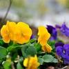 D90で春の花の撮影