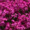 相模原の春 麻溝公園の花たち その2(2021年4月8日)
