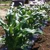 トウモロコシ、出穂。それと農薬ガンガン