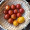ミニトマト収穫です