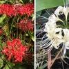 毎年お彼岸には開花するヒガンバナは一週間遅れで花を咲かせ,現在最盛期をやや過ぎたところ.フジバカマは,つぼみが膨らんでいますが,まだ咲いていません.女郎花月(旧暦7月)を過ぎ,オミナエシはもう最後の姿.現在旧暦9月は菊月とも.菊の代わりに?育てているアスターは花を開きはじめています.真っ盛りなのは八重のムクゲ,ユーフォルビアダイアモンドフロスト,栄養系トレニア.そして,実をつけたボケに,なぜか,花が一輪