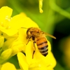 【3月8日はミツバチの日】ミツバチに感謝しよう