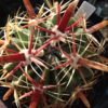 Ferocactus latispinus ~Devil's Tongue Barrel~