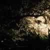 お花見 愛知県 清須市 一宮市木曽川堤など