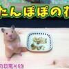 【ハムスター 動画】たんぽぽのお花をハムスター達にあげてみた!#69 I tried to give dandelions flowers to hamsters!