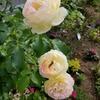 【コロナと私⑬】それでも花咲く春の庭・ものぐさガーデニング 後編(終)