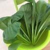 小松菜収穫