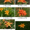 わすれぐさ どれも美しい花:ノカンゾウ,ヤブカンゾウ,キスゲなどの総称.この花由来の「かんぞう色」という色の名前があります. 葉は「酢味噌和え」等に.花はスープに炒め物に. わすれぐさ / 万葉集  忘れ草,我が紐(ひも)に付く,香具山(かぐやま)の,古(ふ)りにし里を,忘れむがため 大伴旅人