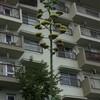 センチュリー・プラントの花咲く
