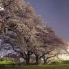 今年の桜 3 夜桜