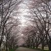 海津大崎の桜とおこめ食堂 なごみ