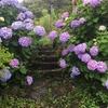 梅雨、花も濡れれば(一周道路沿いに咲くアジサイ(泉津地区))