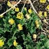 安曇野 #1 山茱萸の黄色と
