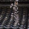 瓦と桜(前編)