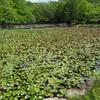 小名郷池にハスの花を見に行く。
