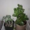 私が多肉植物か、多肉植物が私か