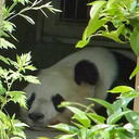 パンダはにゃんと鳴かなかった