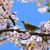 コロナ禍のお花見はひとり静かに桜を愛でる