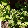 フキノトウの花が咲きました / フキの発がん性 / フキノトウは春の大切な便り.フキ味噌の味は何にも換えがたいので,少しつくって大事に春を楽しむ事にしましょう.  そして,我が家の他の植物たちも春を告げています.