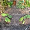 【家庭菜園】茄子植えました。