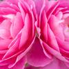 写真作品「港が見える丘公園のイングリッシュローズの庭」 #EOSM6 #薔薇 #バラ