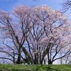 エドヒガンの群生地:呉羽山公園