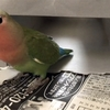 小桜インコの「さくら」〜ティッシュの箱で遊んでみた〜