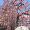"""新月の桜 〜""""やりたい""""の花を咲かせる〜"""