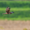 Eastern marsh harrier