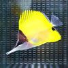 フエヤッコ 8-10cm± 3匹セット ! 海水魚 チョウチョウウオ 餌付け 【PHセール対象】【チョウチョウウオ】