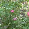 今朝の庭から・・・長春バラ、桑、カライトソウ、ドウダンあたり、シェイクスピア・ガーデン