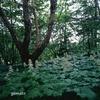 櫛形山の原生林を歩き そして楽しむ