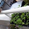 白菜、ブロッコリの間引き