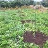 ぶどうの苗の周りをきれいにしてきました。【お手軽!三角ホーを使った草取り】